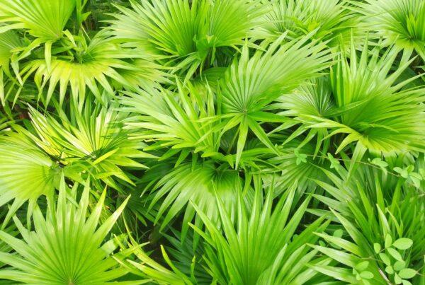 La palma enana americana (saw palmetto)