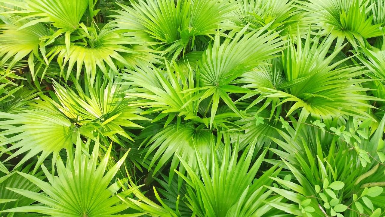 La palma enana americana (saw palmetto) podría tener beneficios para la próstata y la disfunción sexual