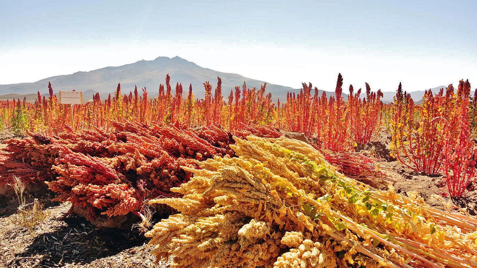 Descubre dos granos milenarios y muy nutritivos: la quinoa y la chía