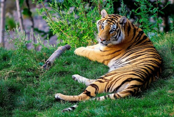 tigre infectado