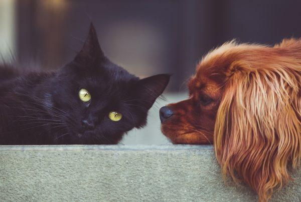 pueden mascotas contraer COVID-19