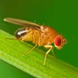 Por qué las mujeres viven más que los hombres: la respuesta la tiene ¡una mosca!