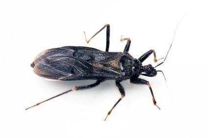 La enfermedad de Chagas: qué es, cómo se transmite y cómo se combate